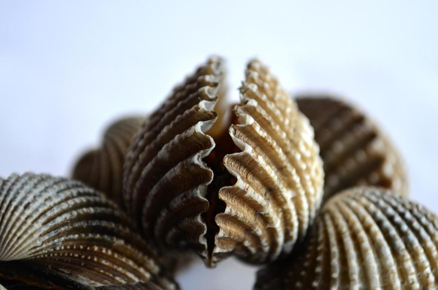 seashell, mollusk, brown, arthropod