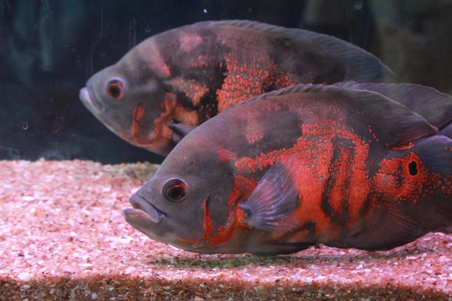 undervattens, fishe, pet, djur, akvarium