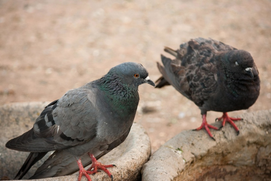 pigeon, bird, animal, concrete