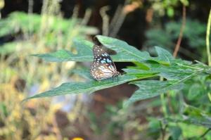 Farfalla tigre, foglia, insetto, artropode, animale, erba