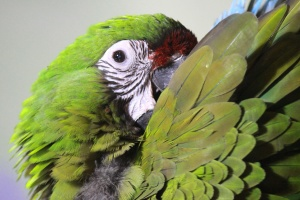 green, parrot, macaw, bird, beak, colorful, animal