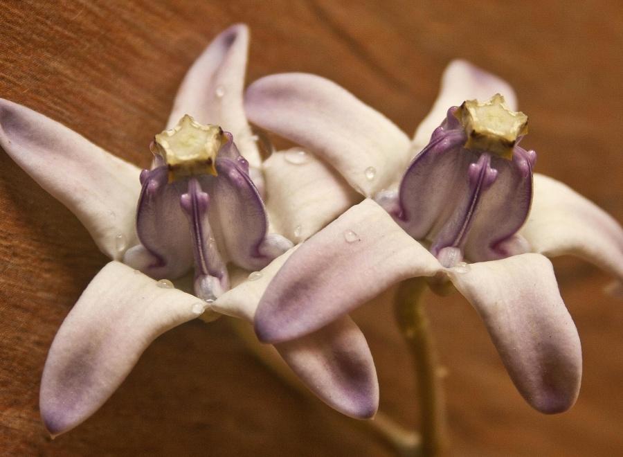 flower, purple, petal, pistil, dew, macro