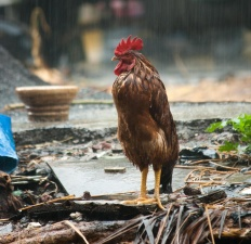 rooster, rain, animal, bird, chicken, beak, poultry