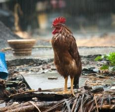 Gallo, pioggia, animale, uccello, pollo, becco, pollame