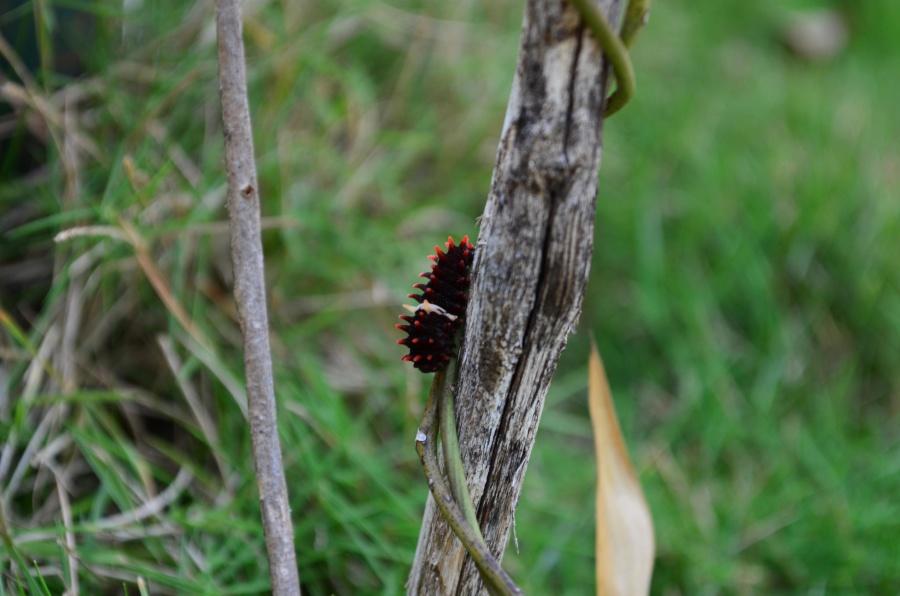 caterpillar, insect, herb, larva, metamorphose, animal