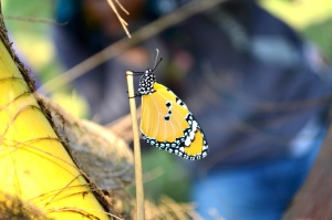 sommerfugl, urt, gul, insekt, metamorphose,