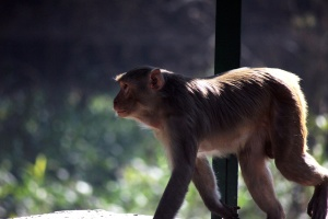monkey, primate, capuchin, animal