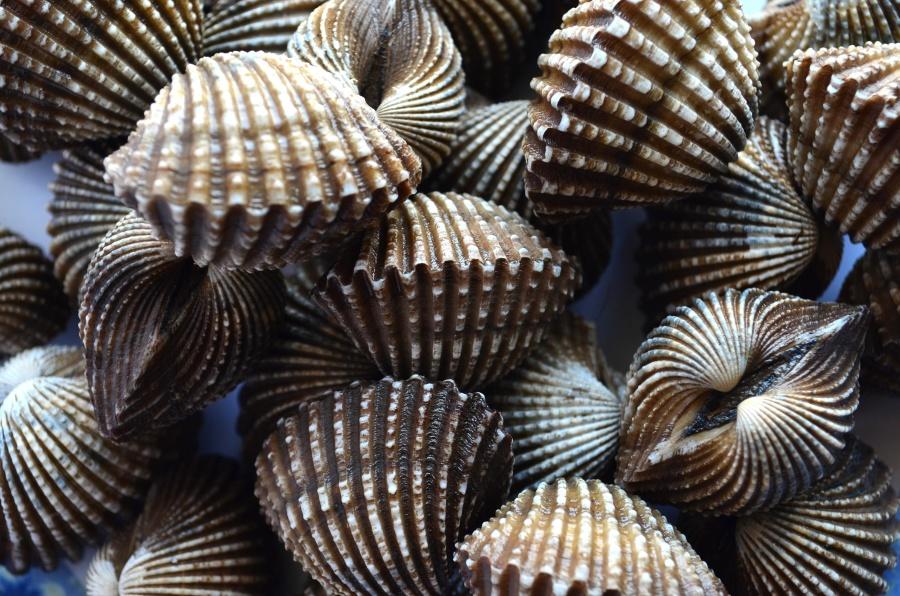 seashell, still life, object, brown, decoration, macro, mollusk
