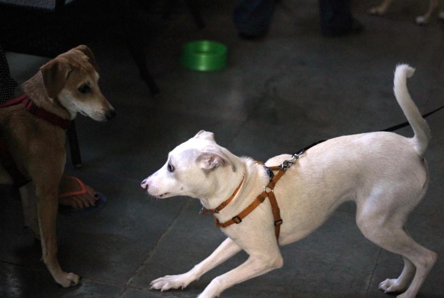 domestic dog, playing, dog, pet, animal