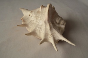 conch, vit, dekoration, seashell