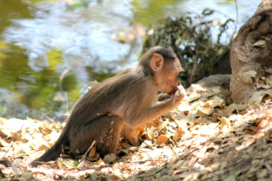 monkey, primate, macaque, animal