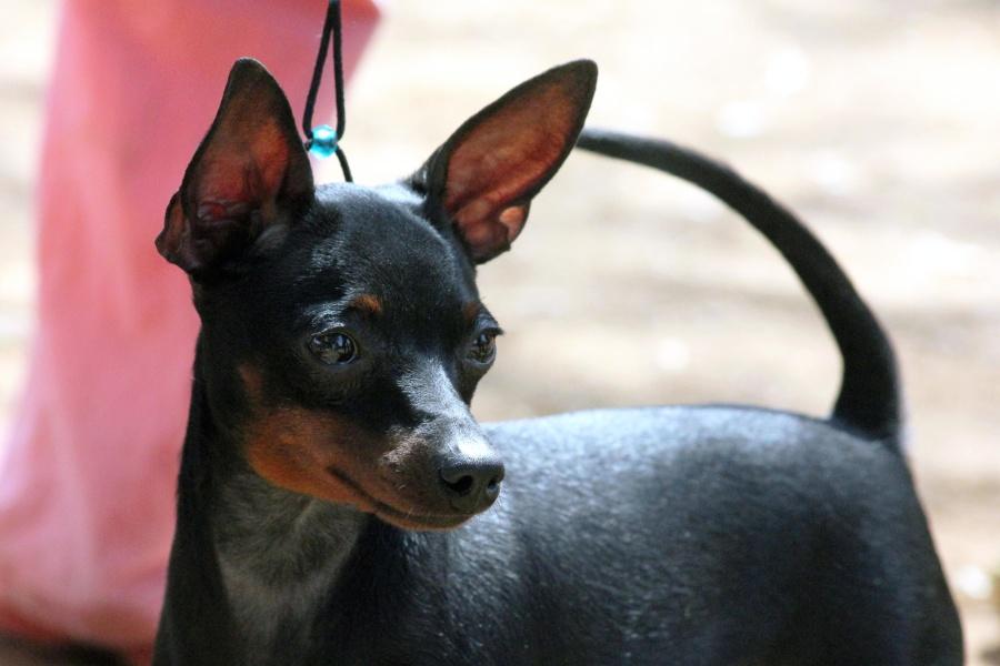 dog, pet, animal, black, cute, canine