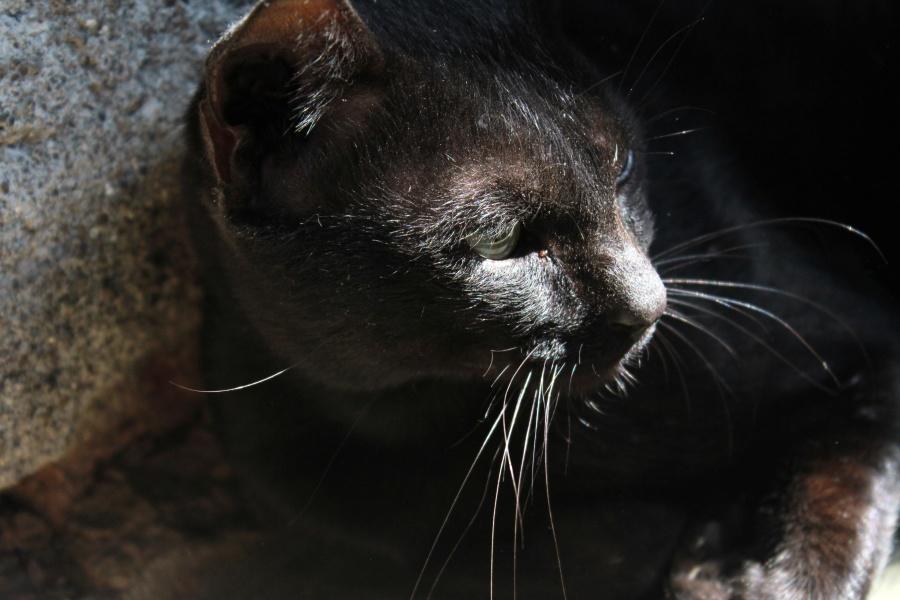 black cat, animal, kitten