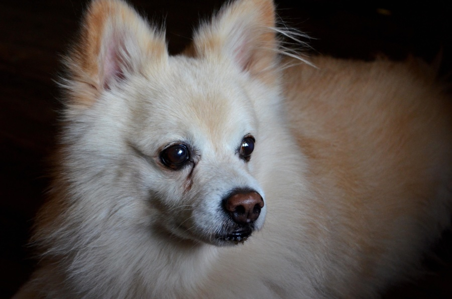 pomeranian dog, white, dog, canine, animal