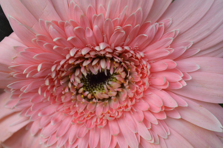 daisy, pink, flower, petal, bloom, garden, macro