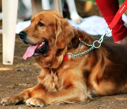 golden retriever, dog, canine, animal, pet