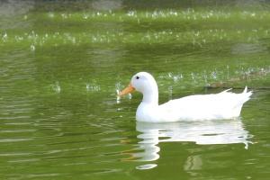 white duck, green water, bird, duck, waterfowl