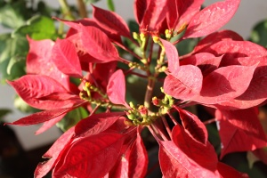red leaves, plant, flower, garden, petal, plant