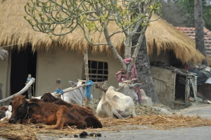 India, village, cow, livestock, animal, cattle