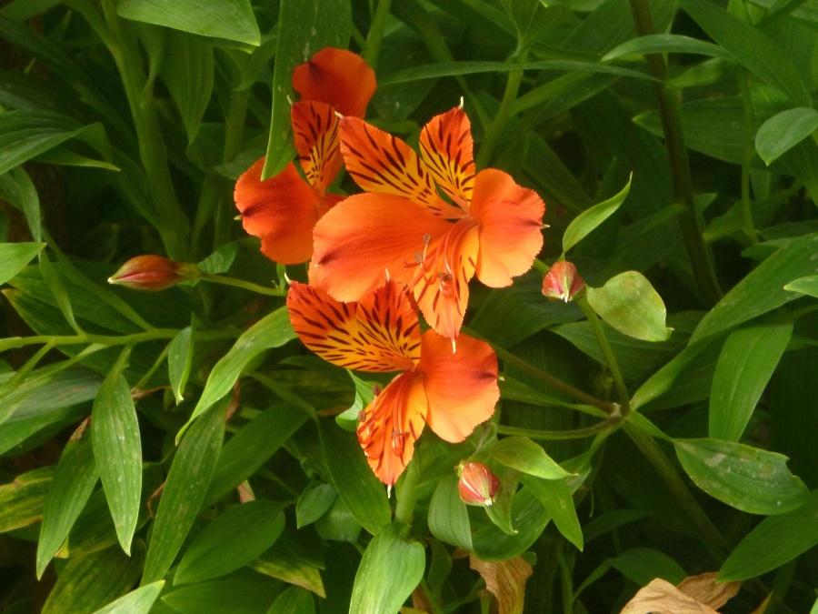 garden, petal, pistil, orange color, flower, green leaves