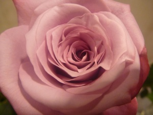 beautiful, rose flower, petals, macro