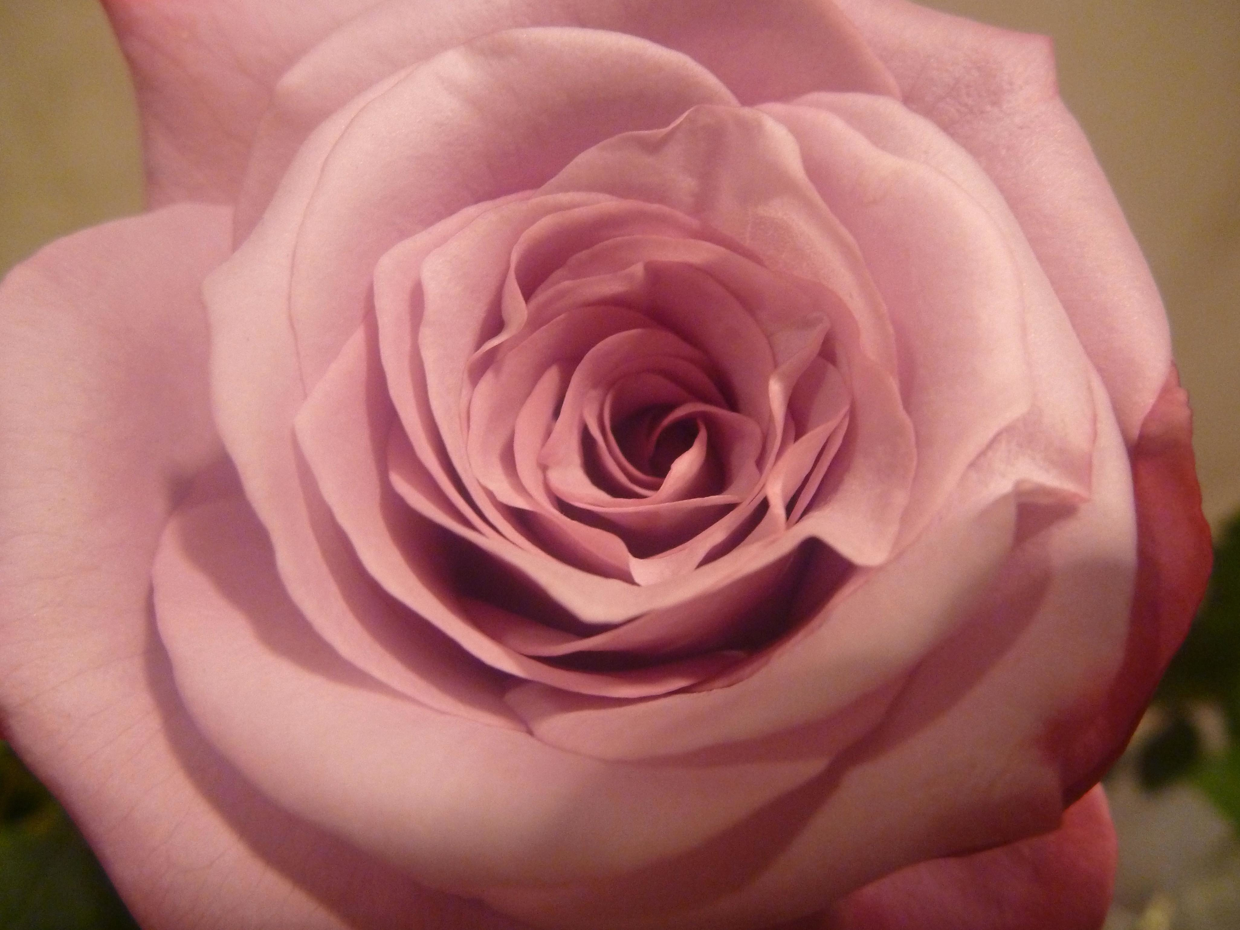 Free Picture Beautiful Rose Flower Petals Macro