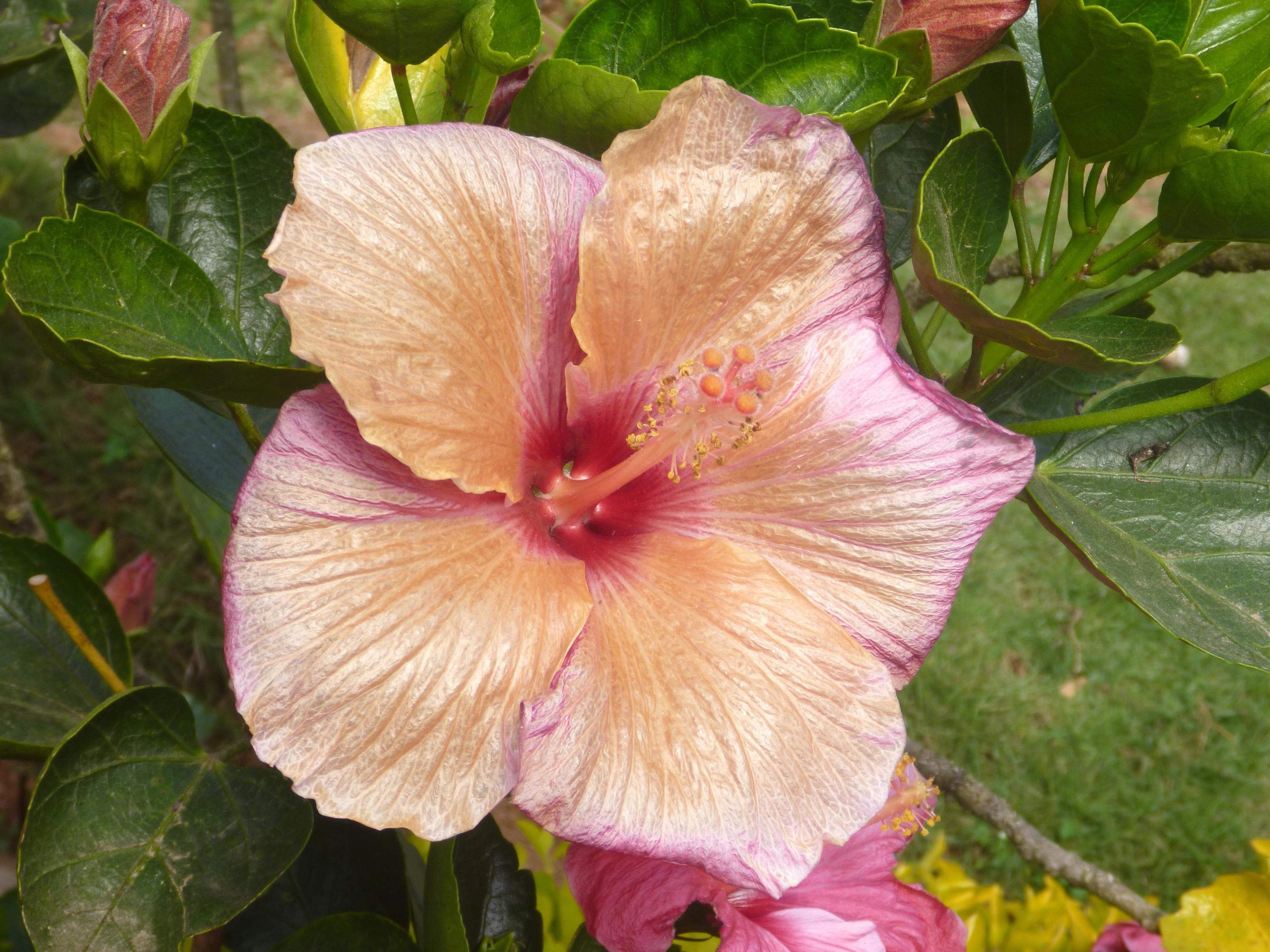 Free picture hibiscus flower pink bloom plant blossom pistil hibiscus flower pink bloom plant blossom pistil petal garden izmirmasajfo