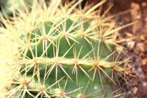 tŕň, rastlín, kaktus, makro