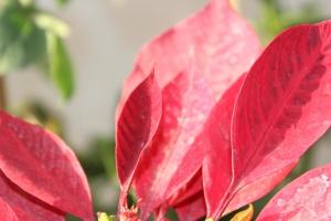 Hojas rojas, pétalo, planta, flor, macro
