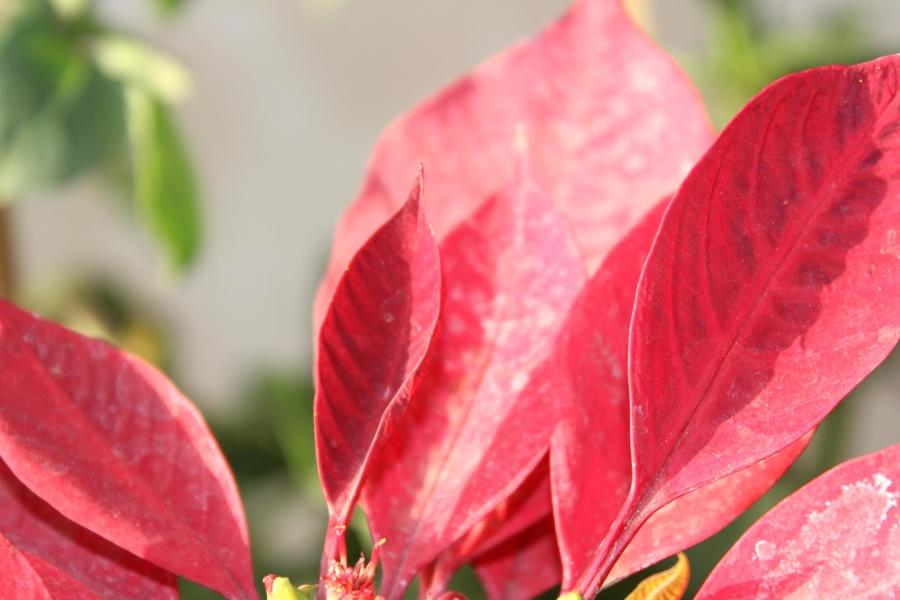 red leaves, petal, plant, blossom, macro