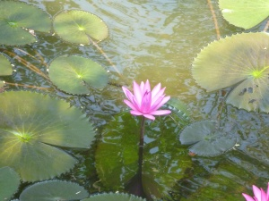 lotus, green leaves, herb, water lily, beautiful, flower