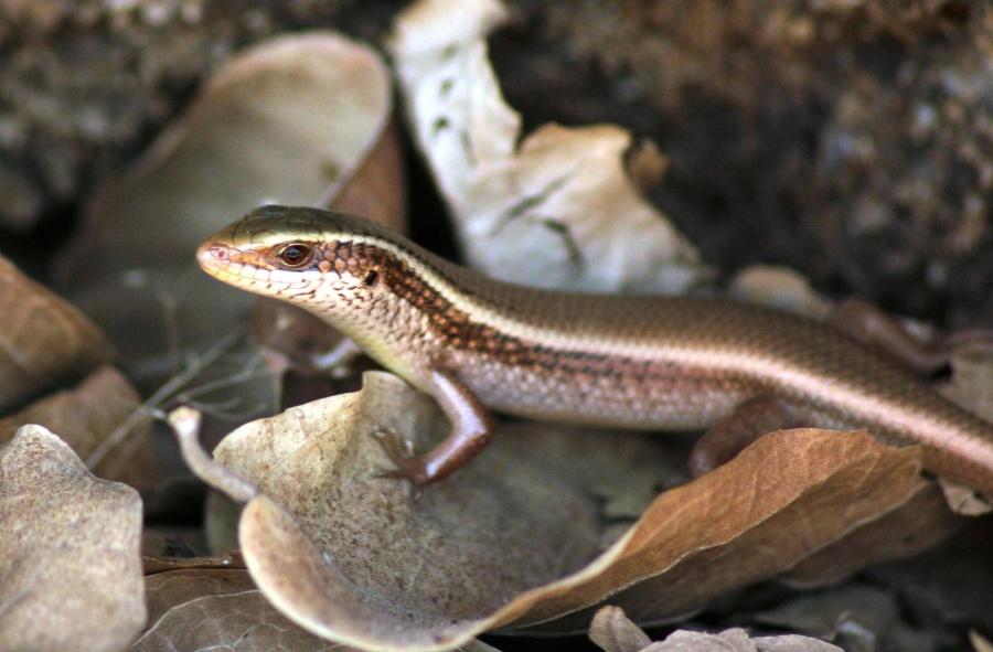 reptile, lizard, brown, animal