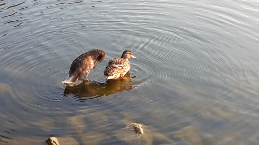 duck, bird, lake, animal