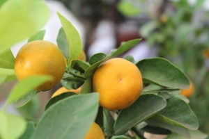 orange fruit, citrus, orchard, fruit, food, vitamin
