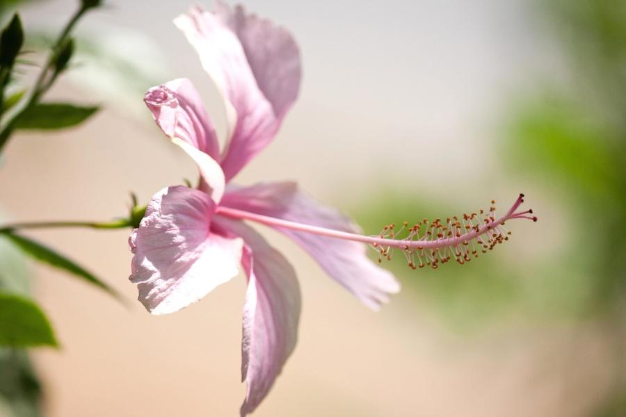 Hibiscus, parfum, fleur, pétale, pistil, fleur