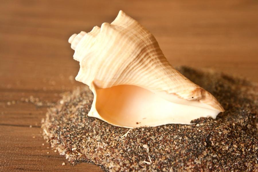 seashell, gastropod, mollusk, sand, still life