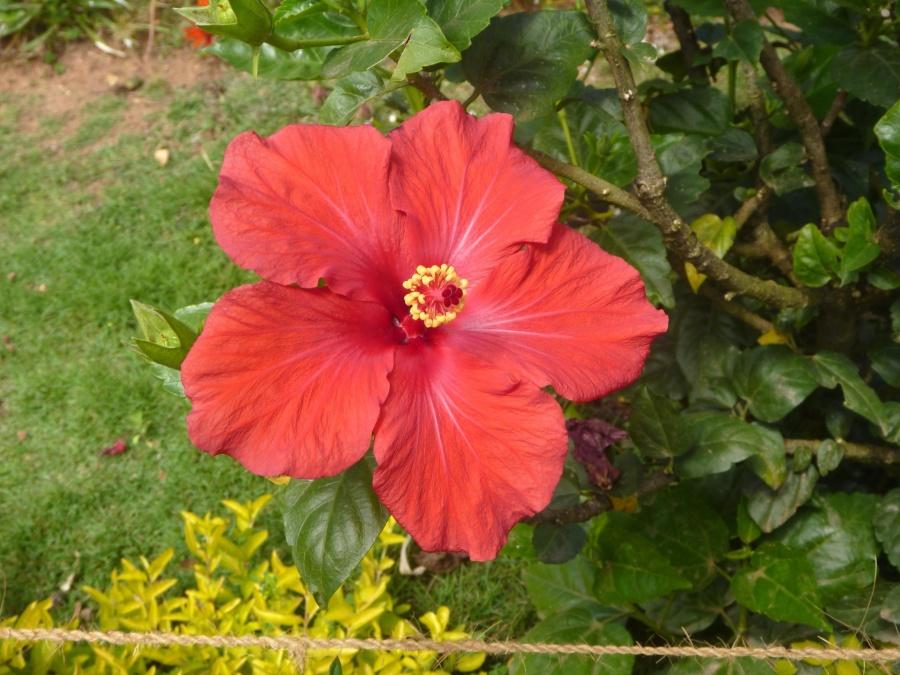 hibiscus, garden, flower, plant