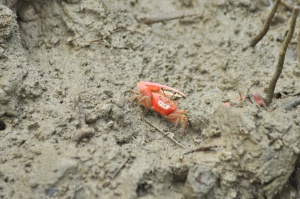 crab, animal, crustacean, arthropod, mud