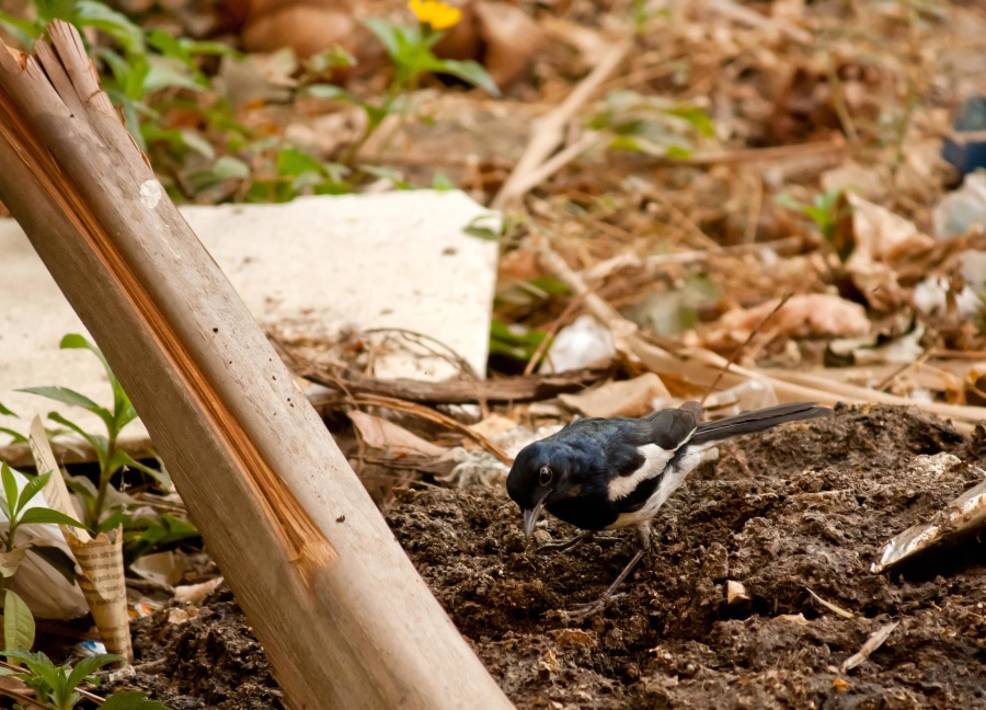 black bird, ground, animal
