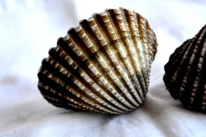 seashell, mollusk, brown, arthropod, still life