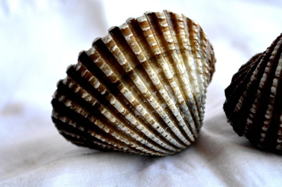 seashell, mollusk, brown, arthropod, still life
