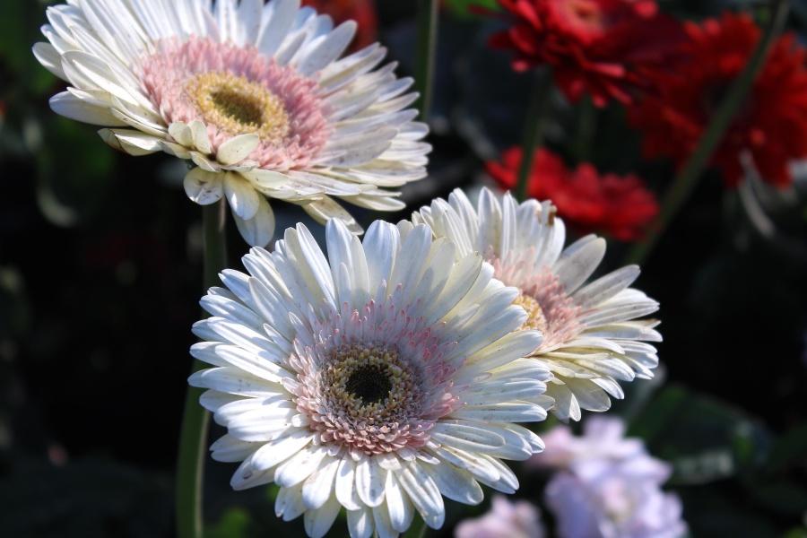 kaunis kukka, kukka, daisy, vaaleanpunainen, terälehti, blossom, kasvi, Puutarha