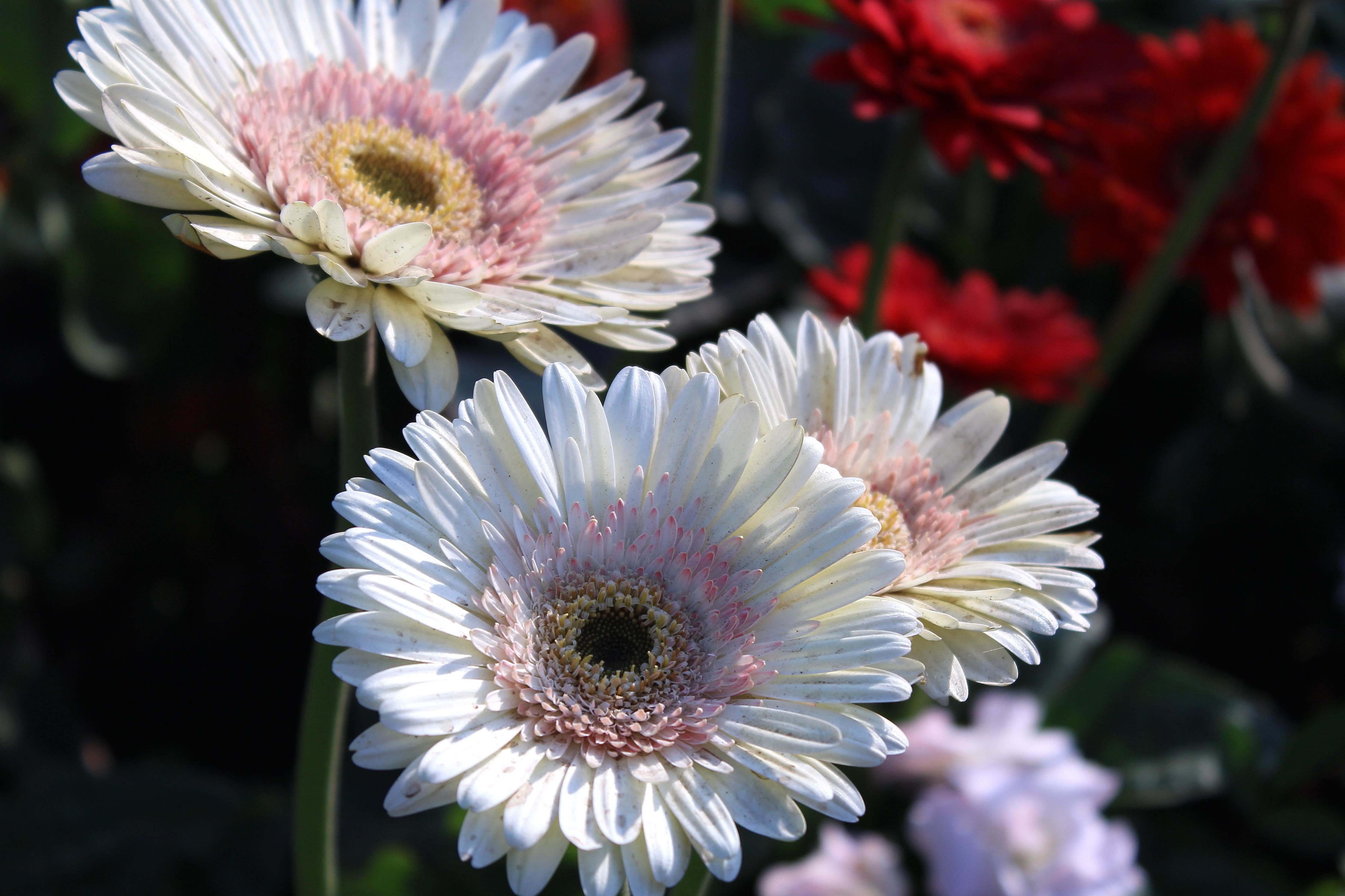 Flor hermosa, flor, margarita, rosa, pétalo, flor, planta, jardín