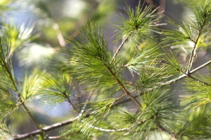 nature, trees, pine tree, conifer, branch, green, leaf, plant