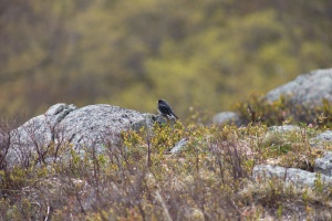 black sparrow, bird, nature, nature, bird, animal