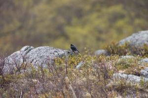 black sparrow, πουλιών, φύση, φύση, πουλί, ζώο