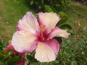 ibištek, kvet, kvet, Záhrada, piestik, rastlín, lupienok