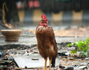 hen, rain, bird, chicken, rooster, animal