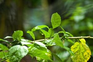 rostlina, listy, zelené listy, větve, detail
