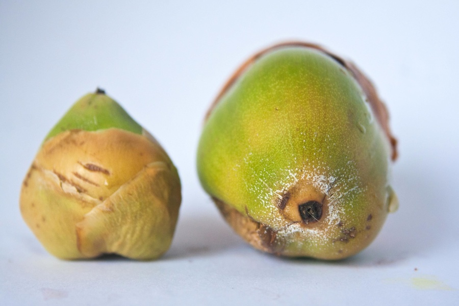 coconut, seed